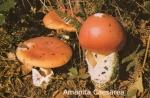 Foto Amanita-Cesarea