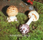 Foto Amanita-Citrina