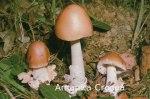 Foto Amanita-Crocea