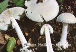 Foto Amanita-Phalloides-v.Alba