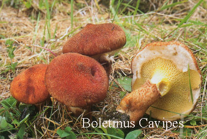 Foto Boletinus-Cavipes