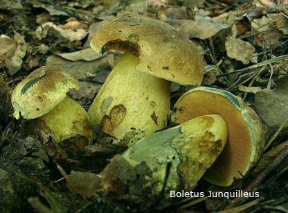 Foto Boletus-Junquilleus