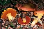 Foto Boletus-Lupinus