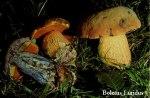Foto Boletus-Luridus