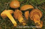 Foto Chalciporus-Piperatus
