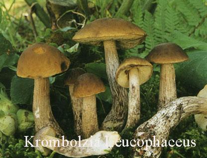 Foto Krombholzia-Leucophaceus