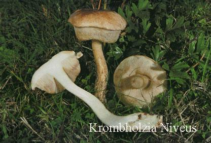 Foto Krombholzia-Niveus