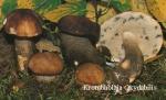 Foto Krombholzia-Oxydabilis