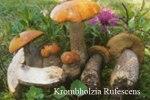 Foto Krombholzia-Rufescens-Versip