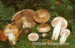 Psalliota-Subperonatus