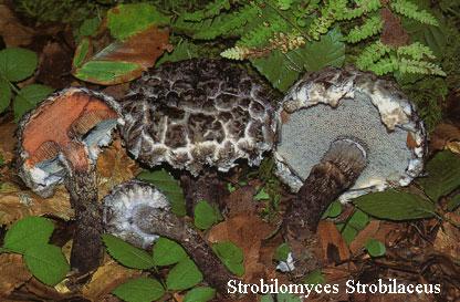 Foto Strobilomyces-Strobilaceus