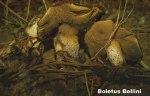 Foto Suillus-Bellini