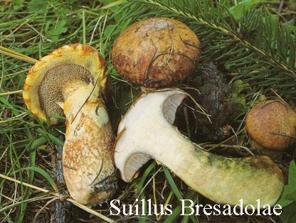 Foto Suillus-Bresadolae