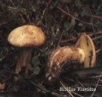 Foto Suillus-Flavidus