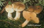Foto Suillus-Leptosus