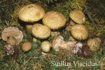 Foto Suillus-Viscidus