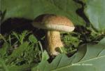 Foto Tylopilus-Alutarius