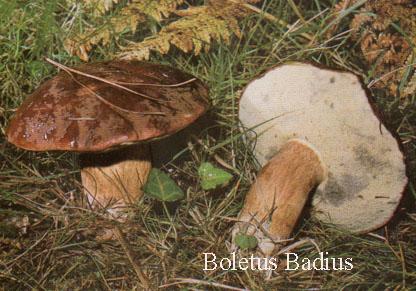 Foto Xerocomus-Badius