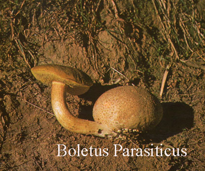 Foto Xerocomus-Parasiticus