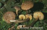 Foto Xerocomus-Porosporus