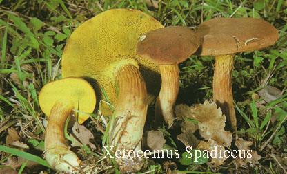 Foto Xerocomus-Spadiceus