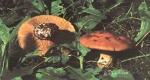 Foto Cortinarius-Allutus
