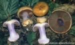 Foto Cortinarius-Amoenolens