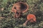 Foto Cortinarius-Anthracinus