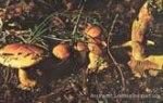 Foto Cortinarius-Aurantioturbinatus