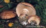 Foto Cortinarius-Balteatus
