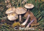 Foto Cortinarius-Betulinus