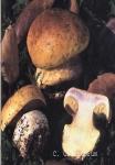 Foto Cortinarius-Cedretorum