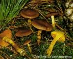 Foto Cortinarius-Cinnamomea