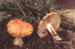 Foto Cortinarius-Claricolor
