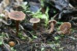 Foto Cortinarius-Comatus