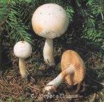 Foto Cortinarius-Crystallinus