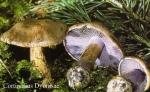 Foto Cortinarius-Dyonisae