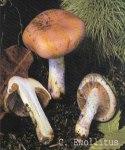 Foto Cortinarius-Emollitus