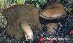 Foto Cortinarius-Infractus