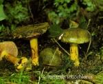 Foto Cortinarius-Ionochlorus