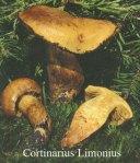 Foto Cortinarius-Limonius
