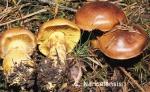 Foto Cortinarius-Nanceiensis