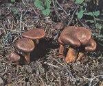 Foto Cortinarius-Phoeniceus (*)