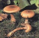 Foto Cortinarius-Pholideus