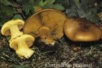 Foto Cortinarius-Prasinus