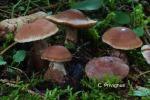 Foto Cortinarius-Privignus