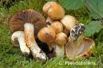 Foto Cortinarius-Pseudobolaris