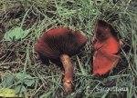 Foto Cortinarius-Sanguineus (*)