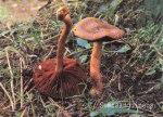 Foto Cortinarius-Semisanguineus (*)