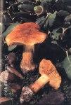 Foto Cortinarius-Subfulgens